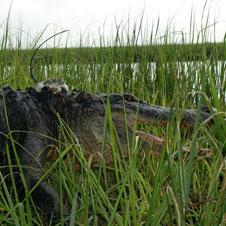 GPS backpack on alligator