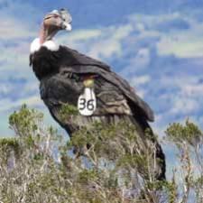 GPS Andean Condor