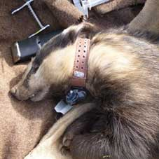 GPS collar for badger