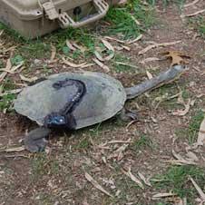 GPS backpack on Broad Shelled Turtle