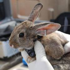 GPS collar on Cottontail Rabbit