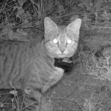 GPS collar on Feral Cat
