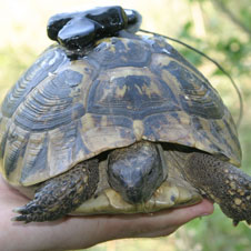 GPS backpack on hermann's tortoise