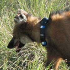 GPS collar on Maned Wolf