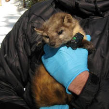 GPS collar on Marten
