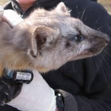 GPS collar on Badger
