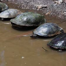 GPS on Common Long-necked Turtles
