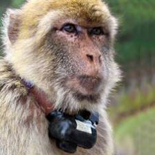 GPS collar on barbary macaques