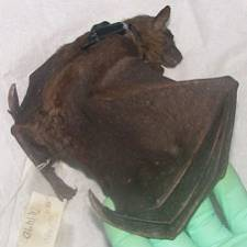 GPS collar on fruit bat