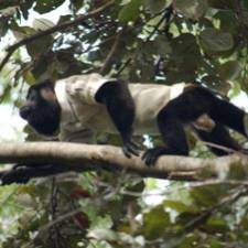 GPS jacket on howler monkey