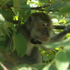 GPS collar on macaques