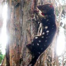 GPS collar on spotted-tailed quoll