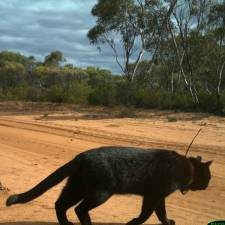 GPS on Feral Cat