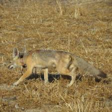 GPS Collar on Kit Fox