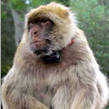GPS on Barbary Macaques