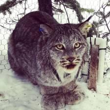 GPS Collar on Lynx