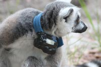 GPS on lemur