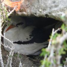 GPS on tropicbird