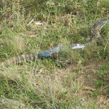 GPS harness on goanna