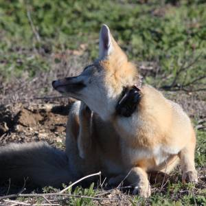 GPS Tracking System for Wildlife Research - Fox