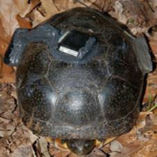 GPS on Blanding's Turtle